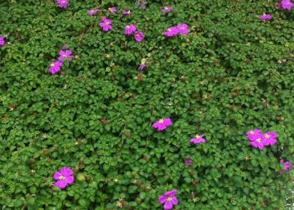 Dissotis roundifolia.1 (1)