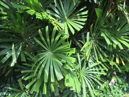 Licuala spinosa (Mangrove Fan Palm) 2