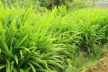 Pandanus amaryllifolius (Pandan Leaves)