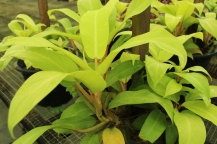 Philodendron gold