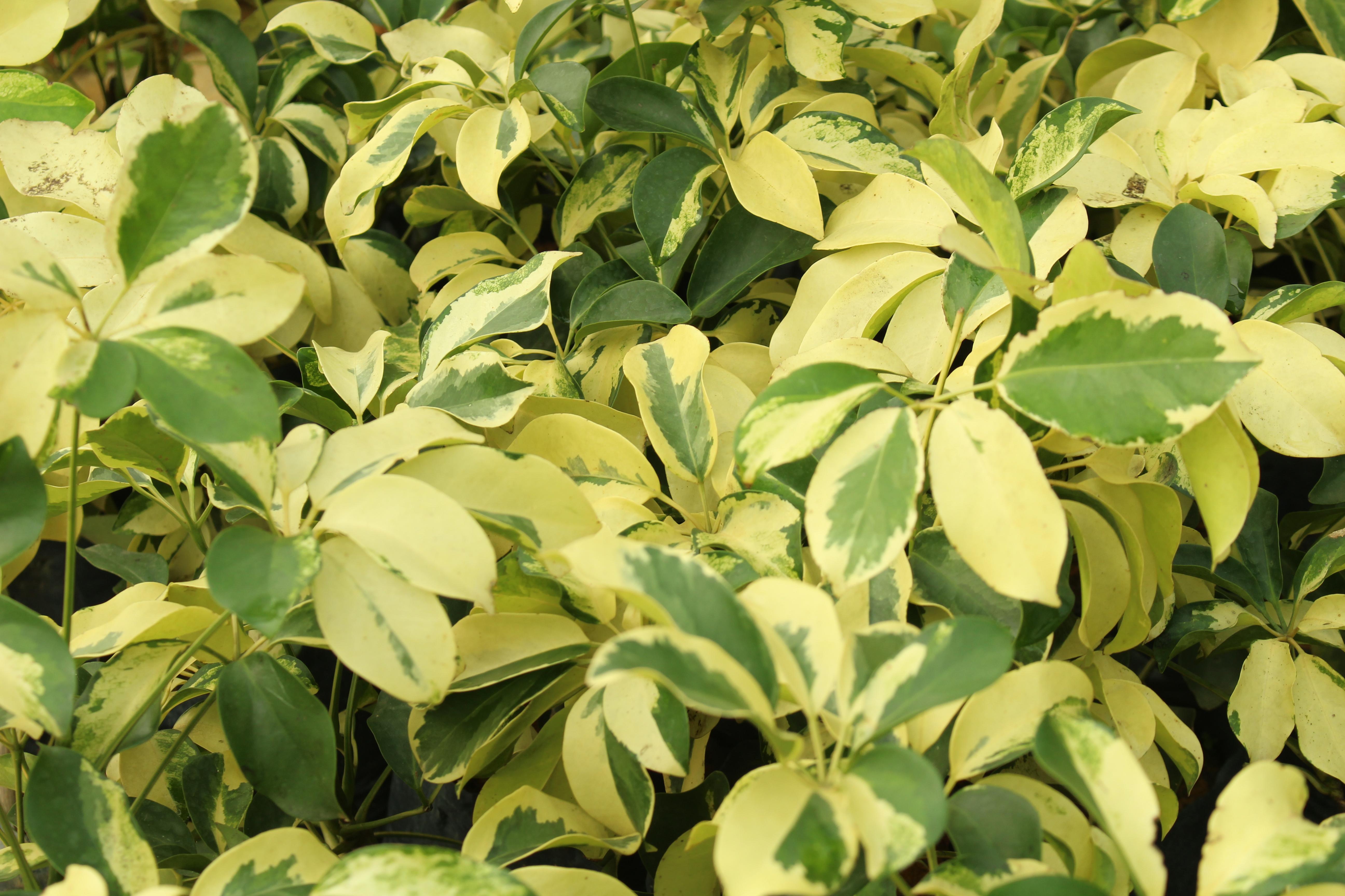 Plants guan lee heng contractor pte ltd - Schefflera variegata ...