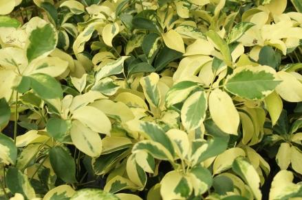 Schefflera arboricola cultivar